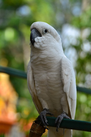 maccaw: Yellow-crested Cockatoo Stock Photo