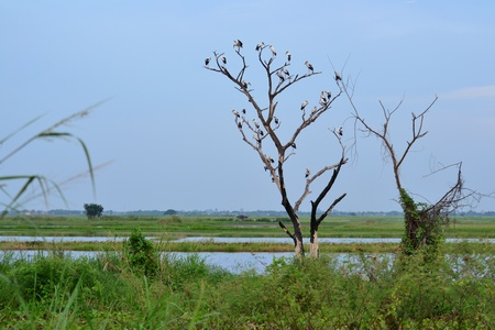wader: White Stork bird and family on a deadwood,Angthong Province,Tahiland