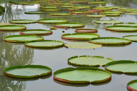 leaves of the Victoria waterlily in pool photo