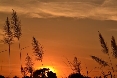 The flower of Giant reed and sunset. photo