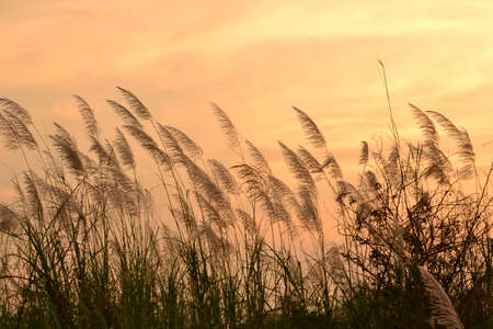 The flower of Giant reed on golden background. photo