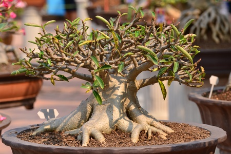 Adenium obesum tree or Desert rose in flowerpot photo