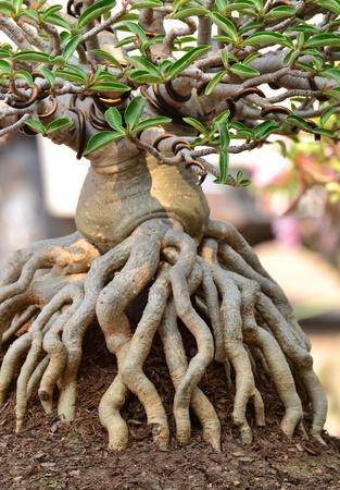 Adenium obesum tree or Desert rose in flowerpot. photo