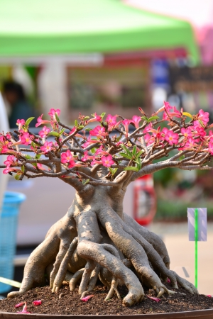 Adenium obesum tree or Desert rose in flowerpot. photo