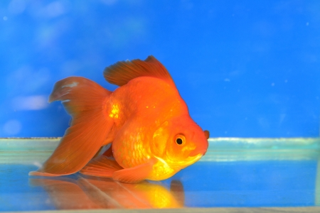 Beautiful Goldfishes in aquarium. Stock Photo - 18519176