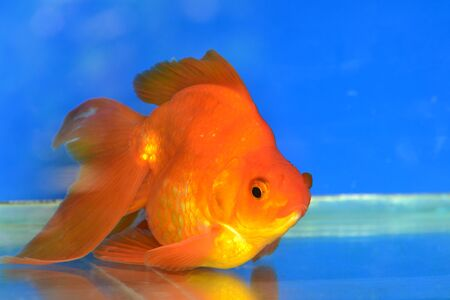 Beautiful Goldfishes in aquarium. Stock Photo - 18519347