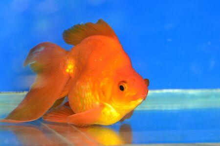 tanjo: Beautiful Goldfishes in aquarium.