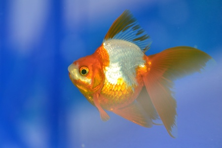 Beautiful Goldfishes in aquarium. Stock Photo - 18519263