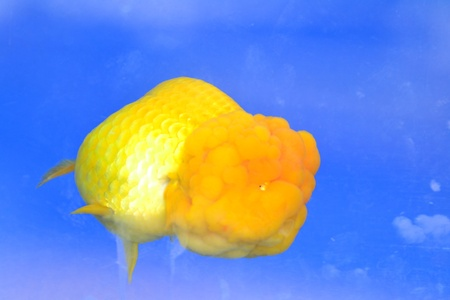 Beautiful Goldfishes in aquarium. Stock Photo - 18518930