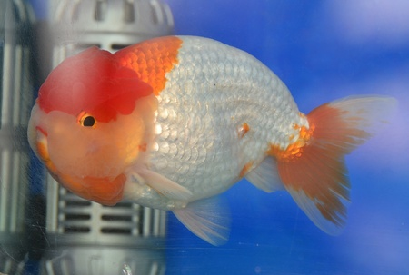 Beautiful Goldfishes in aquarium. Stock Photo - 18519275