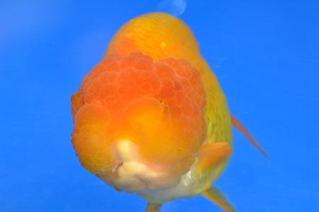 Beautiful Goldfishes in aquarium. Stock Photo - 18518994