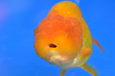 Beautiful Goldfishes in aquarium. Stock Photo - 18519006