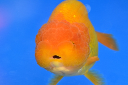 Beautiful Goldfishes in aquarium. Stock Photo - 18519349