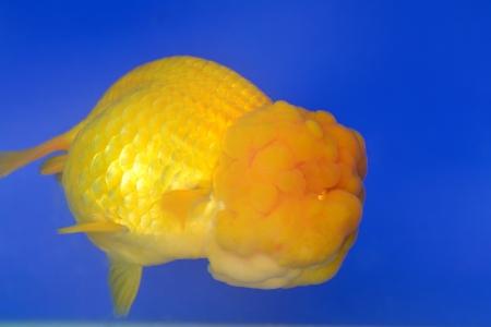 Beautiful Goldfishes in aquarium. Stock Photo - 18519352
