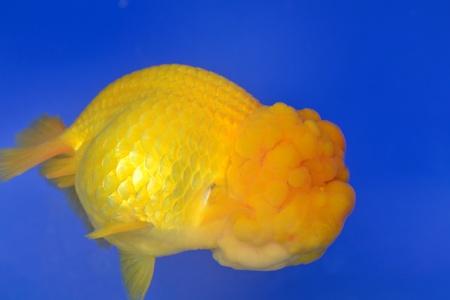 Beautiful Goldfishes in aquarium. Stock Photo - 18519026