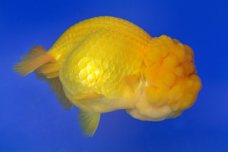 Beautiful Goldfishes in aquarium. Stock Photo - 18519341