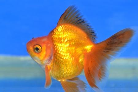 Beautiful Goldfishes in aquarium. Stock Photo - 18519233