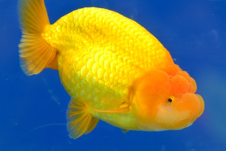 Beautiful Goldfishes in aquarium. Stock Photo - 18519329