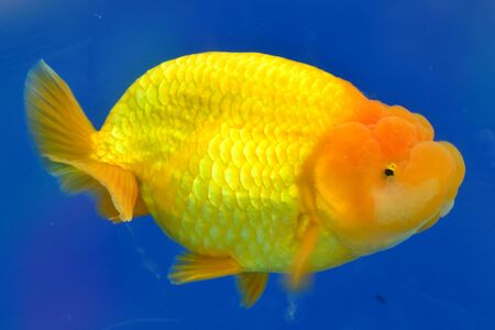 Beautiful Goldfishes in aquarium. Stock Photo - 18519041