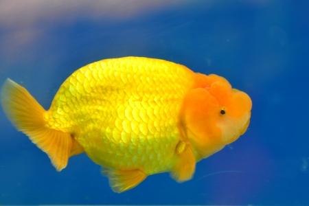 Beautiful Goldfishes in aquarium. Stock Photo - 18518962