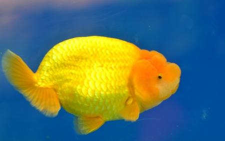 Beautiful Goldfishes in aquarium. Stock Photo - 18518926