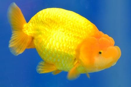 Beautiful Goldfishes in aquarium. photo