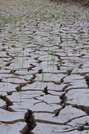 Rice seedlings germinated on the ground to dry in the summer in Ayutthaya Province, Thailand. photo