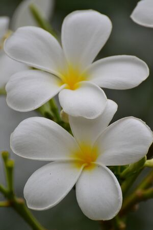 Close up of white and yellow frangipani flowers with leaves in background. photo