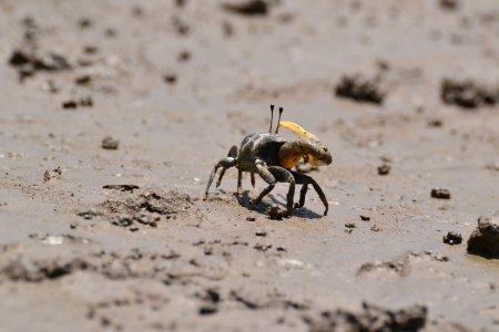 Fiddler Crab walking in the mangrove ,Thailand. photo