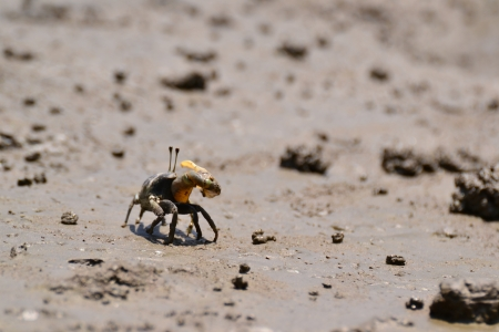 Fiddler Crab walking in the mangrove ,Thailand. photo