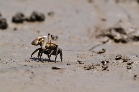 fiddler: Fiddler Crab walking in the mangrove ,Thailand.