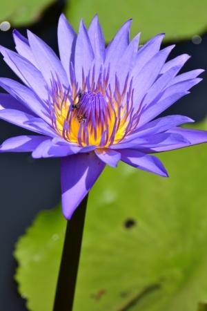 Lotus in natural pond. photo