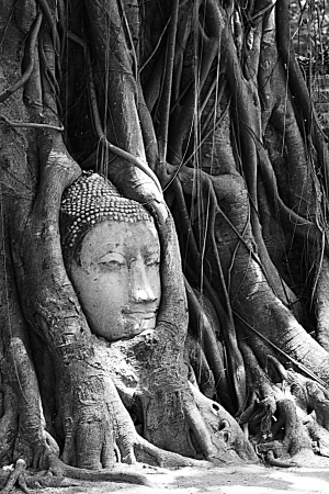 The head of Buddha Image in the Bodhi tree, Maratha temple,Ayutthaya Province,Thailand.