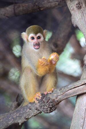 squirrel monkey: Squirrel Monkey