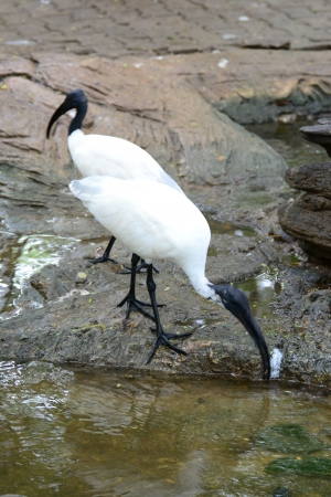 white headed: Black Headed lbis  Bird ( Threskiornis melanocephalus )