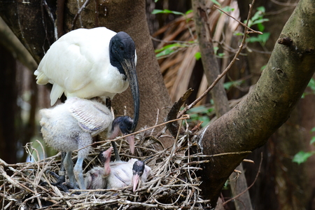 black headed: Black Headed lbis  Bird ( Threskiornis melanocephalus )