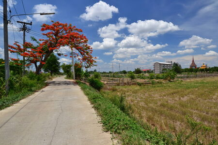brigh: Royal Poinciana on side of the road in rural Thailand. Stock Photo
