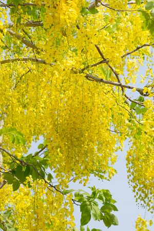fistula: Golden Shower Tree or Cassia fistula from Thailand.