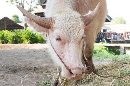 white buffalo head close up in Thailand