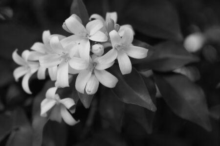 jessamine: Jessamine flowers monochrome close-up photo with shallow depth of field