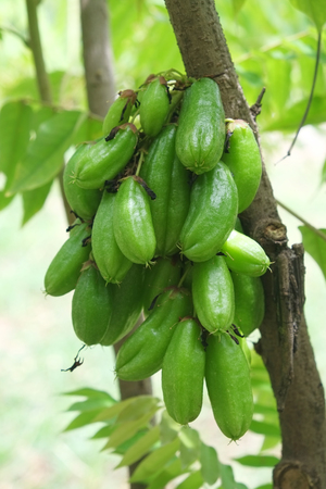 Bilimbi fruits on Tree in gaden