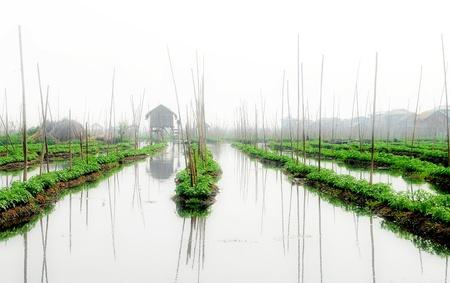non urban: Tomato field in Inle lake ,Myanmar