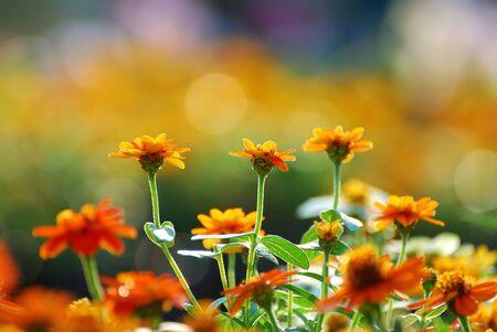 Zinnia flower  photo