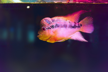 Colorful of cichlids.Rhino fish in led aquarium with glowing fins Stock Photo
