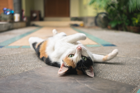 Three colors cat turning face up while looking at camera and lying on pavement of domestic life