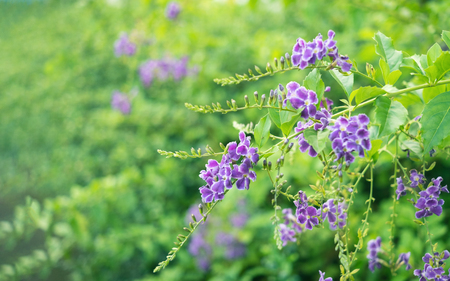 Bunch of purple flowers. Golden dew drop with green nature Stock Photo