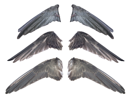 Set of real black swallow bird wings and monster claws concept. Isolated and clipping path Imagens
