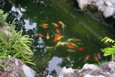Colorful fancy carp fish in the formal garden