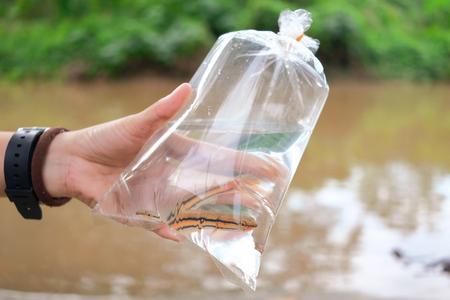 Hand holding baby giant snakehead fish inside plastic bag Imagens