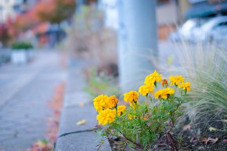Blooming marigold on wayside in yamanashi, Japan Imagens